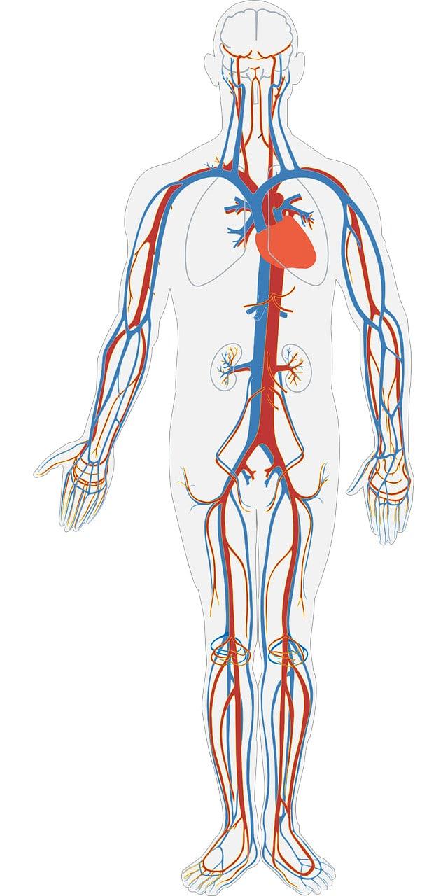 βιογραφικό - εικόνα με αρτηρίες ανθρώπινου σώματος
